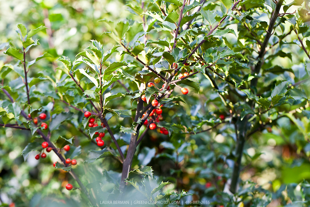 Berri Magic Royalty Combination Holly (Ilex  x meserveae 'Blue Prince' & 'Blue Princess') with both male and female holly planted together.