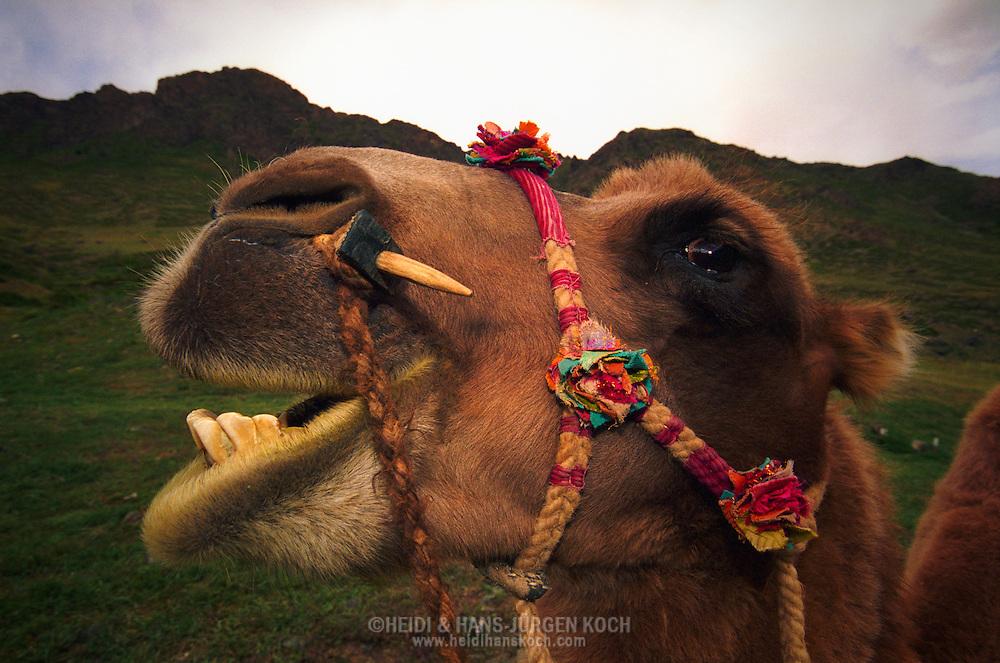 """Mongolei, MNG, 2003: Kamel (Camelus bactrianus). Kauendes Reitkamel mit farbenfrohem Zaumzeug n der Bergregion des Gobi-Nationalparks. Die Region wird """"Jolyn am"""" genannt und steht seit 1965 unter Schutz.   Mongolia, MNG, 2003: Camel, Camelus bactrianus, chewing riding camel with colourfull bridle in the mountain region of the Gobi Nationalpark, this region is called """"Jolyn am"""" and protected since 1965, South Gobi.  """