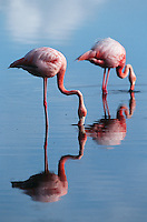 Ecuador Galapagos Islands two Greater Flamingoes standing in shallow water side view
