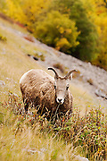 CANADA, Jasper National Park.Bighorn sheep (Ovis canadensis)