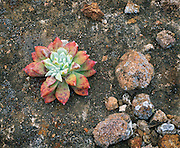 0603-6051 ~ Copyright:  George H. H. Huey ~ Greene's live-forever [Dudleya greenei].  Endemic to the Chanel Islands.  San Miguel Island. Channel Islands National Park, California.