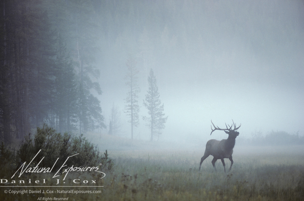 Elk bull in a foggy meadow during fall rut in the Canadian Rockies. Canada
