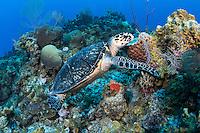 A Hawksbill Sea Turtle feeds on a Sponge<br /> <br /> Shot in Cayman Islands
