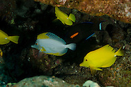First Cathedrals, Lanai Hawaii, Albino Yellow Tang