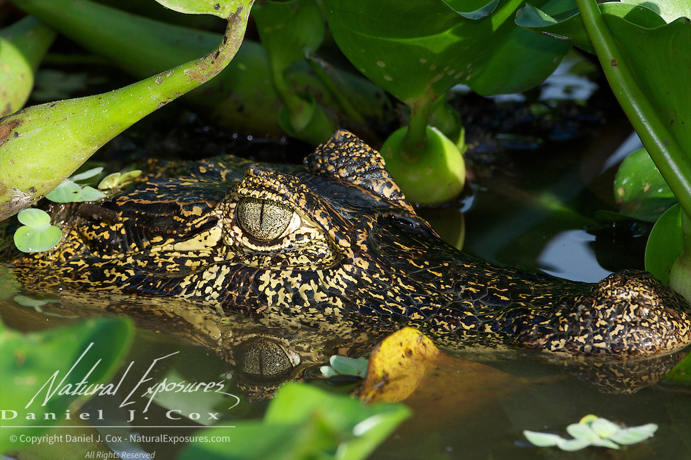 Caiman in water hyacinths, Pantanal, Brazil.