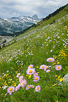 Alpine meadows above Rohr Lake, Leafy Aster (Aster foliaceus) in the foreground Cayoosh Mountain 2561 m (8402 ft) in the distance, Coast Mountains British Columbia Canada