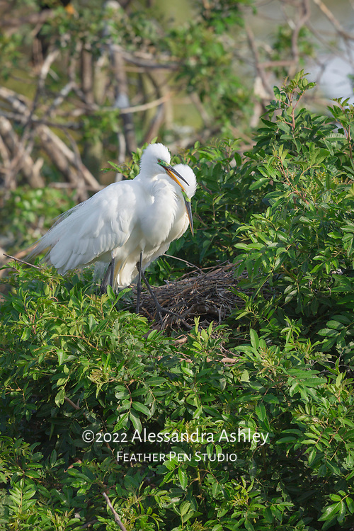 Pair of great egret parents appear to joyfully await their new arrivals in treetop nest at Venice Audubon Rookery on Florida's Gulf coast.