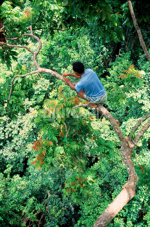 Seram bird poachers had no fear about setting traps on branches 50 meters off the forest floor