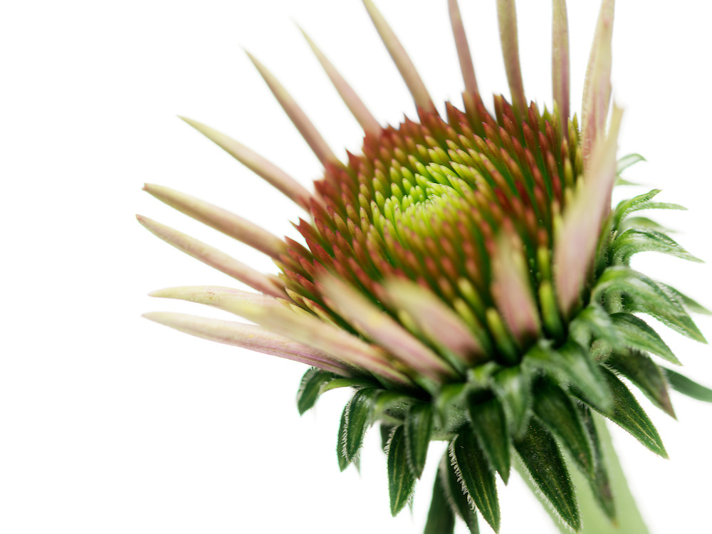 Echinacea flower close-up