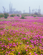 6104-1005 ~ Copyright:  George H. H. Huey ~ Pitaya agria cactus [sour pitaya], cholla cactus (Optunia cholla), sand verbena, and california poppies.  Morning fog in the Viscaino Desert.  Baja California, Mexico.