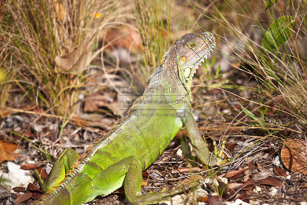 Green Iguana (Iguana iguana) lizards relax in the sun at the Blue Hole Park, Big Pine Key, Florida.