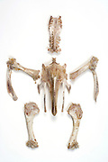 skeleton of a Turkey after its meat has been eaten