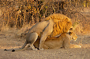 Lion and lioness mating, Grumeti, Tanzania, East Africa.      RESERVED USE - SEE RESTRICTIONS BELOW RESERVED USE - NOT FOR DOWNLOAD -  FOR USE CONTACT TIM GRAHAM