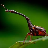 Weevil (Cynotrachelus flavotuberosus)