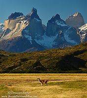 Dwarfed by the granite massifs of Torres del Paine, a guanaco rises from rest and strides through the windblown golden grasses of Chile's Patagonia region. The guanaco is a subspecies of lama found in Argentina and Chile's Patagonia region as well as the altiplano of Peru, Bolivia, and Chile.They are incredibly hardy animals and seem to withstand with little effort some of our planet's most extreme conditions.
