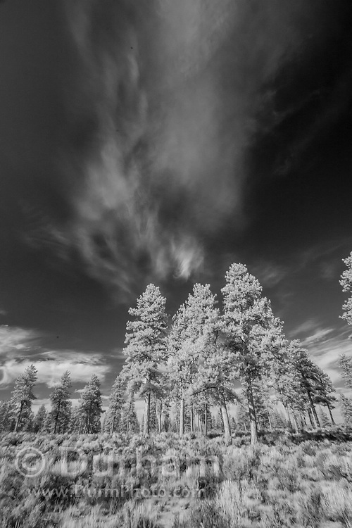 Ponderosa trees in the high desert of Central Oregon. © Michael Durham