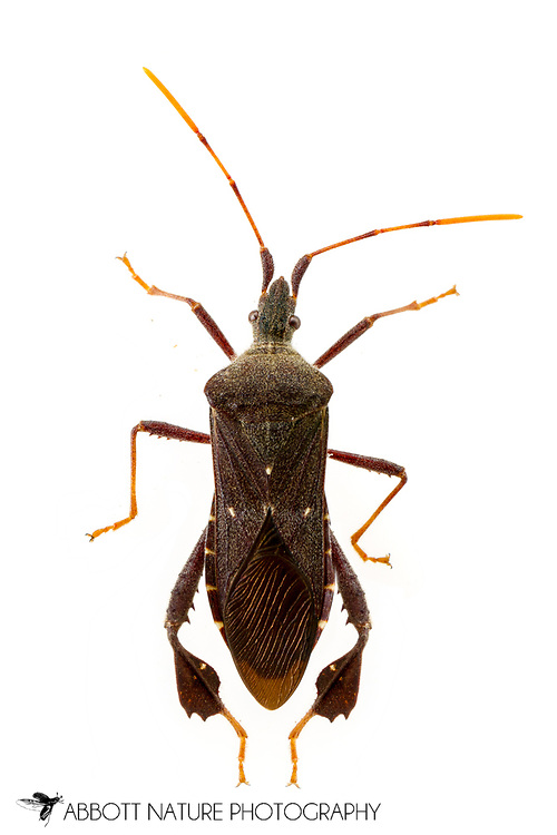 Leaf-footed Bug (Leptoglossus oppositus)<br /> United States: Alabama: Tuscaloosa Co.<br /> Tulip Tree Springs off Echola Rd.; Elrod<br /> 33.33480, -87.79355<br /> 3-Jun-2016<br /> J.C. Abbott #2825 &amp; K.K. Abbott