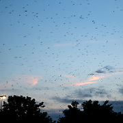 Thousands of migrating purple martins fly over the skies of Hamburg Pavilion shopping center as they look for a place to roost in the trees in Lexington , Ky. Monday August 11, 2014. Over 10,000 purple martins, mixed in with about 5,000 European starlings, are staging at Hamburg as the sun sets as they prepare to leave for their winter migration to northern South America. The swallow family of birds are some of the first to migrate. These birds, which have attracted bird watchers from around the region, will likely only stay around for a week or two, according to John Brunjes, with the Kentucky Department of Fish and Wildlife Resources. These kinds of massive roosts occur in Kentucky every year, but they are normally in remote places and not visible to large human populations.