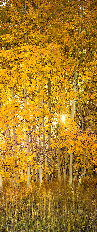 Glowing aspens, Wood River Valley<br /> Near Sun Valley, Idaho