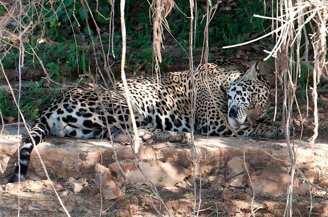 Jaguar sleeeps along the Cuiba river in Pantanal Brazil
