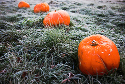Pumpkins laying in a field covered with frost in the Vermont countryside in autumn, New England,Vermont, USA