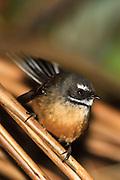 Fantail, New Zealand