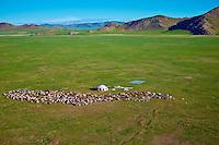 Mongolie, province de Bayankhongor, campement nomade, troupeau de chevre // Mongolia, Bayankhongor province, nomad camp, herd of goats