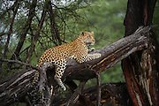 Leopard  (Panthera pardus)<br /> Marataba, A section of the Marakele National Park, Waterberg Biosphere Reserve<br /> SOUTH AFRICA<br /> RANGE: Throughout Sub-Saharan Africa except interior of South Africa. Also in Asia.Leopard