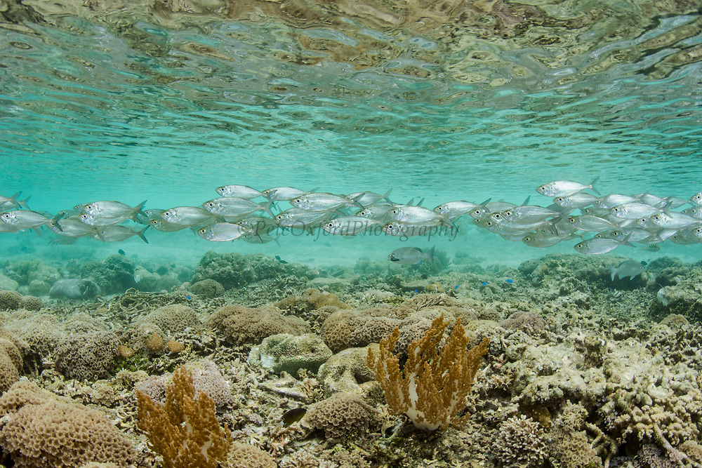 Oxeye scad (Selar boops)<br /> Raja Ampat<br /> West Papua<br /> Indonesia