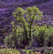Cottonwood Tree & Lupine Wildflowers on hillside near Silverthorne, SummitCounty, CO