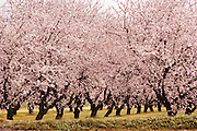 One of Floyd Zaiger's mature orchards of flowering fruit trees. Floyd Zaiger (Born 1926) is a biologist who is most noted for his work in fruit genetics. Zaiger Genetics, located in Modesto, California, USA, was founded in 1958. Zaiger has spent his life in pursuit of the perfect fruit, developing both cultivars of existing species and new hybrids such as the pluot and the aprium. Fruit trees in bloom - 1988.