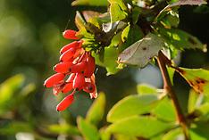 Berberidaceae, Berberisfamilie