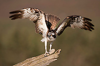 Osprey (Pandion haliaetus) perched on dead pine snag, Scotland.