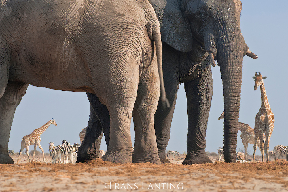 Elephant bulls at waterhole, Loxodonta africana, with giraffes and zebras, Etosha National Park, Namibia