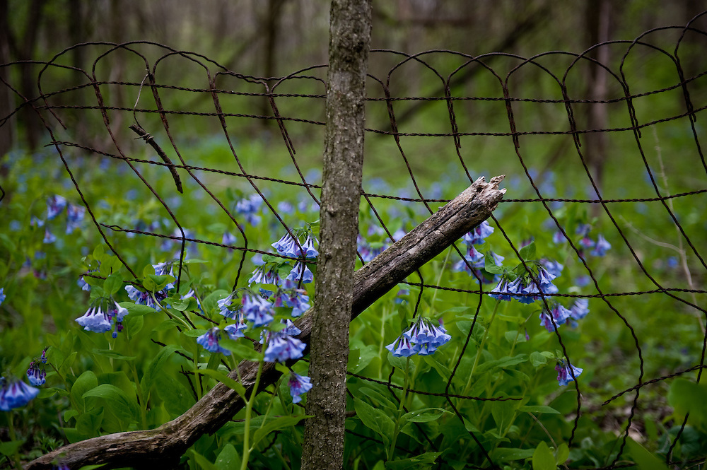Bluebells at Forest Park Nature Center in Peoria, Illinois