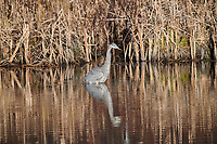 Great Blue Heron (Ardea herodias) searching for prey in a pond at, Broad Cove, Nova Scotia, Canada