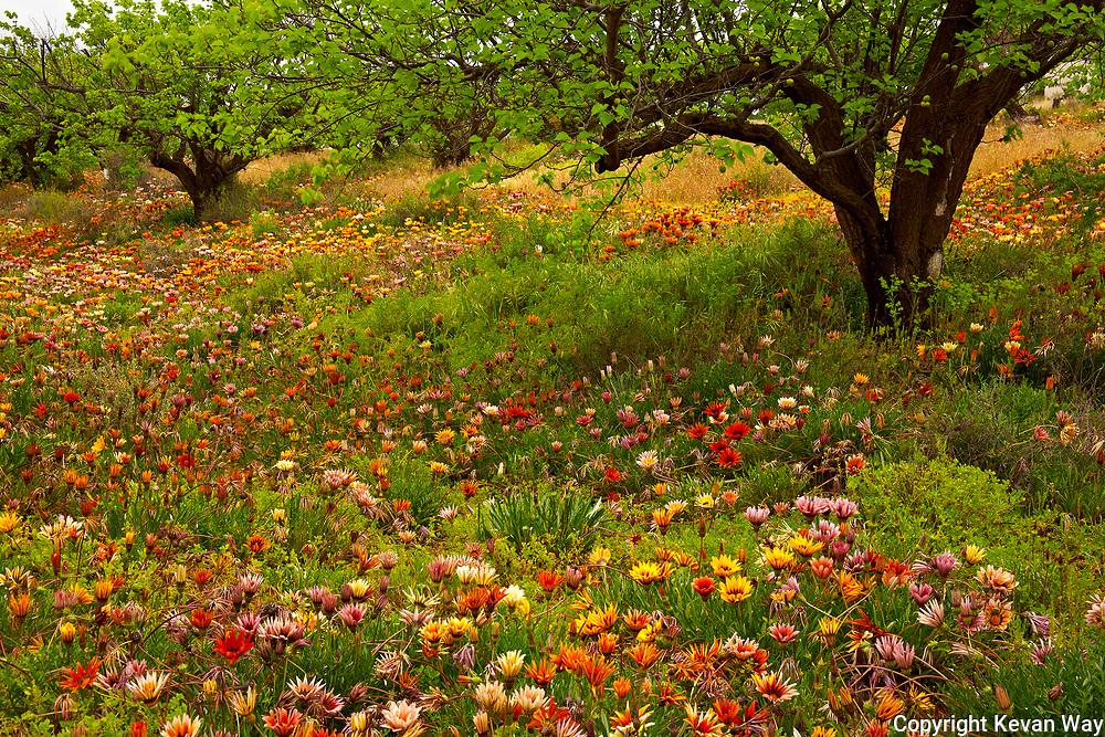 Gazanias in fruit orchard Cadell SA