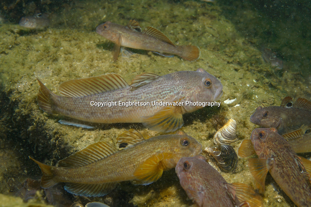 Round Goby (feeding on Zebra Mussels)<br />