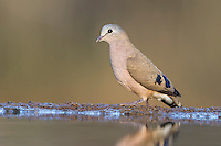 Emerald-spotted Wood-Dove at water, Zimanga Game Reserve, KwaZulu Natal, South Africa