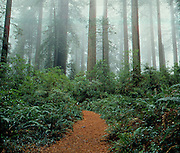 THIS PHOTO IS AVAILABLE FOR WEB DOWNLOAD ONLY. PLEASE CONTACT US FOR A LARGER PHOTO. California. Walking path in Redwood NP. Cresent City. Forest trail.