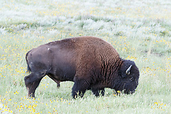 American Bison bull grazingin wildflowers, Vermejo Park Ranch, New Mexico, USA.
