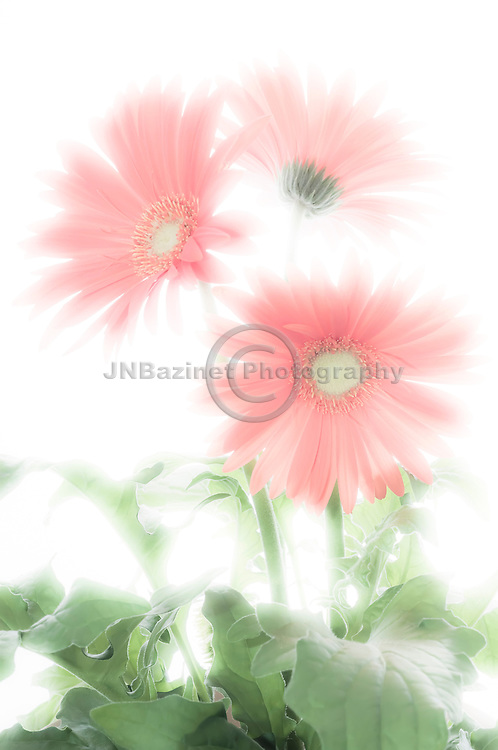 Backlit cluster of three pink Gerbera daisies set against white background.
