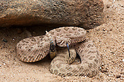 Grand Canyon Rattlesnake (Crotalus oreganus abyssus)<br /> CAPTIVE<br /> USA<br /> HABITAT & RANGE: Grasslands, desert scrub, Grand Canyon, rolling hills, pinion-juniper woodland and pine forests. Only in northwest and north-central Arizona.