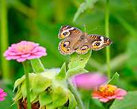 Common Buckeye Butterfly. Image taken with a Fuji X-T2 camera and 200 mm f/2 lens