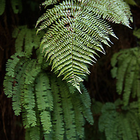 Detail of one of the three varieties of ferns growing in lush Fern Canyon. Fern Canyon is a canyon in the Prairie Creek Redwoods State Park in Humboldt County, California, USA. It was one of the shooting locations of the movie Jurassic Park 2: The Lost World.