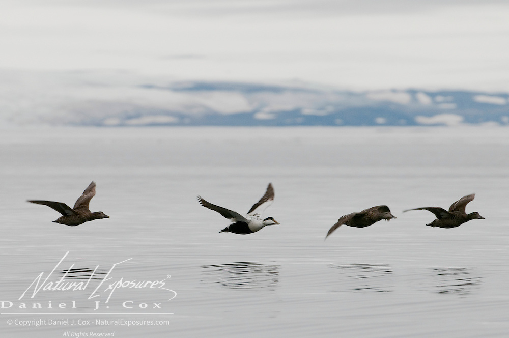 Common Eider in flight. Svalbard, Norway