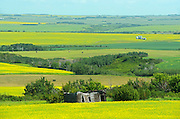 Canola crops and old homestead along the Saskatoon Trail<br /> near North Battleford<br /> Saskatchewan<br /> Canada