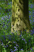 Native English bluebells (Hyacinthoides non-scripta) surround the trunk of a Beech (Fagus sylvatica) tree in Southrey Wood, Lincolnshire. The dappled sunlight casts perfect shadows of the fresh leaves onto the smooth bark.<br />