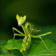 Creobroter sp, Mantid alos known as a flower mantis.