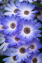 Senetti 'Magic Blue'